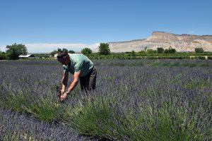 Jenseits des Gemüseanbaus: Der Lavendel wird zu Seifen, Lotionen und Ölen weiterverarbeitet.